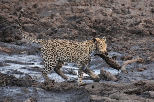 We watched as this leopard stood silently next to a pool then pounced and came up with her dinner.