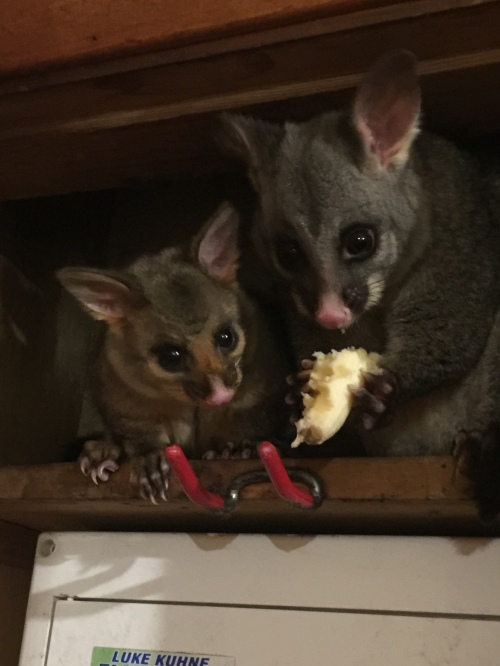Possums2019